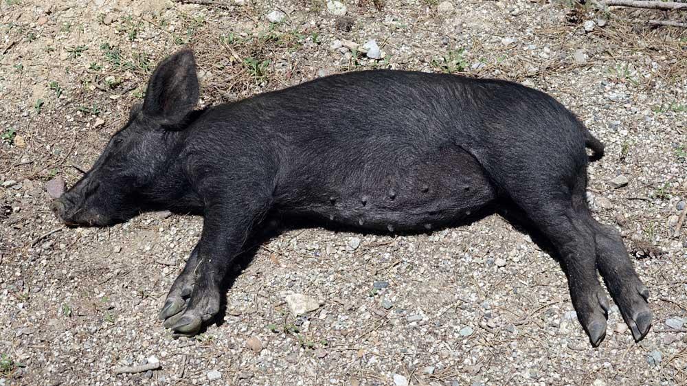 "Cochon ""sieste tranquille"""
