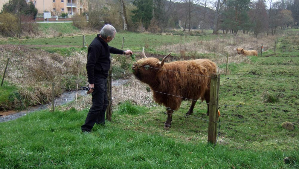 Tentative d'approche d'un Highland Cattle   - 24 mars 2016