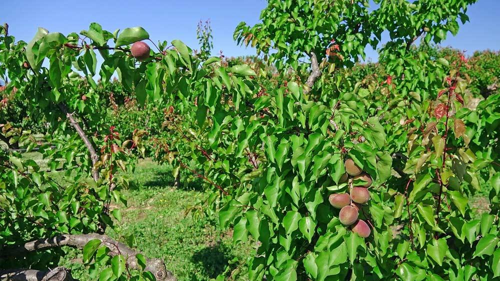 Abricots rouges du Roussillon qui seront murs à la mi-juillet