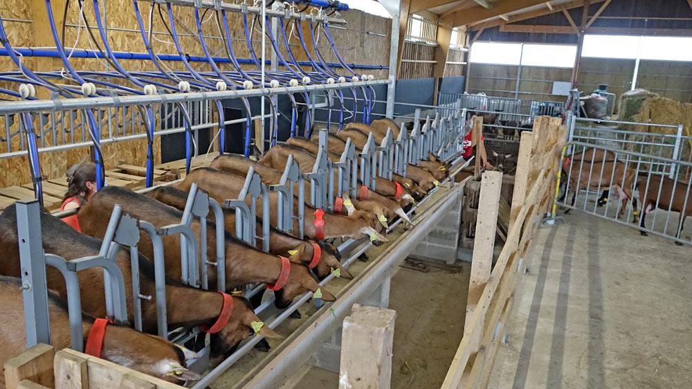 Les 16 premières chèvres sont en place