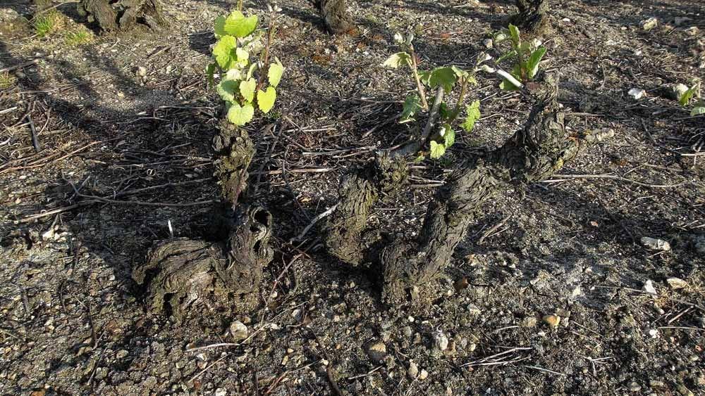 Ceps de vignes de Romorantin pré-phylloxérique (avant 1875), pratiquement de la dentelle ...respect !