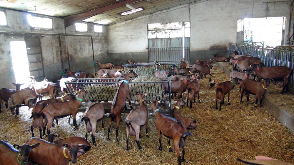 Chèvres alpines attendant la traite, à l'intérieur
