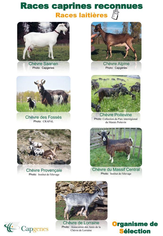 Les différentes races de chèvres - 1