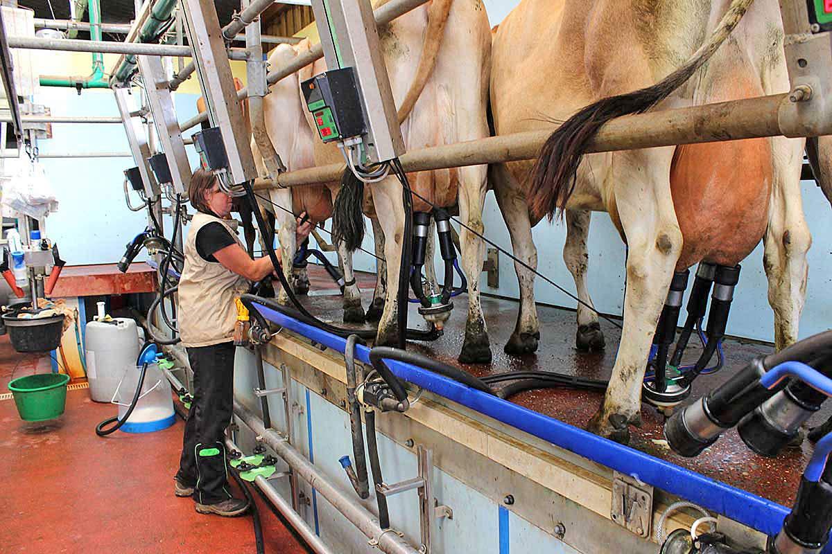 La traite - Crédit photo www.fermedesaulnays.fr