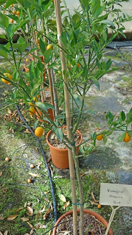 Kumquat meiwa rond