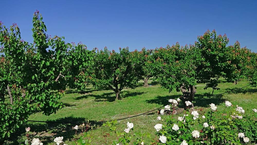 Le verger d'abricots rouges du Roussillon