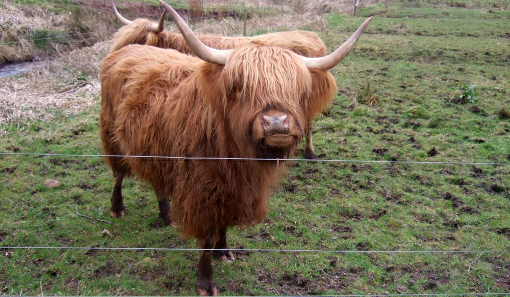 Highland Cattle  - 24 mars 2016