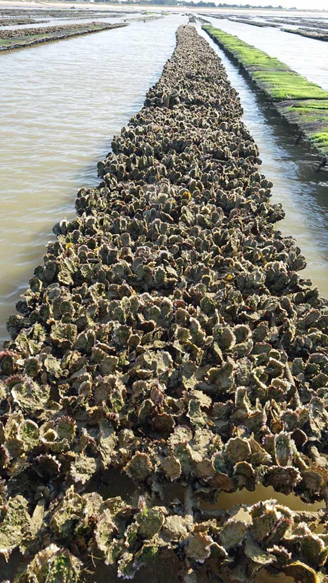 Huîtres développées sur les tubes collecteurs