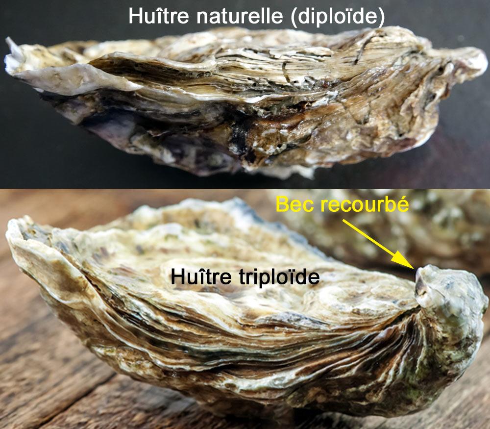 Différence entre huîtres naturelles et huître triploïde