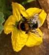 Abejorro en flor de sandía