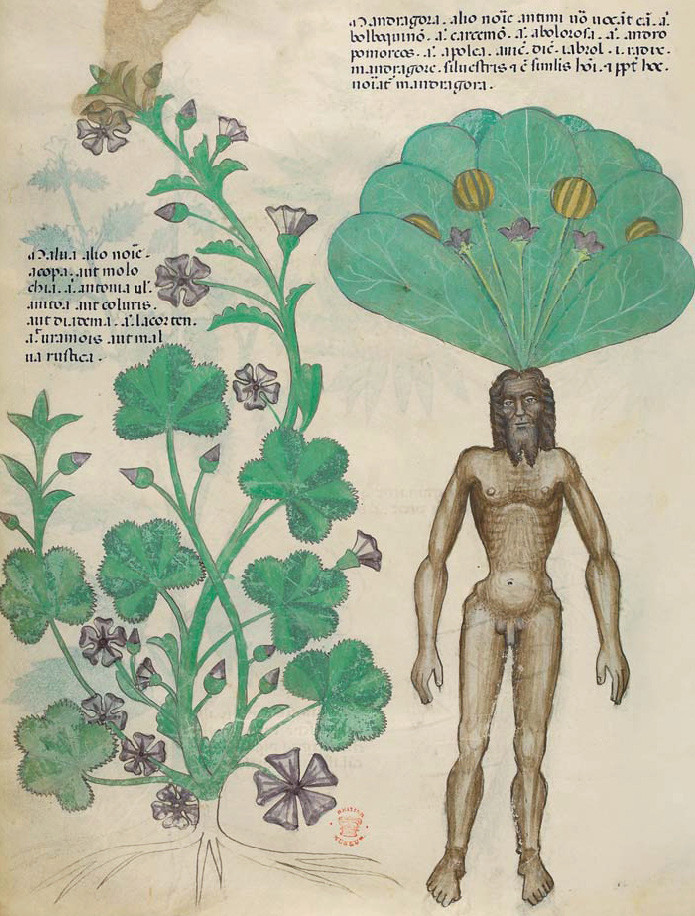 TRACTATUS DE HERBIS – The British Library, Londres. Cote : Sloane MS. 4016.