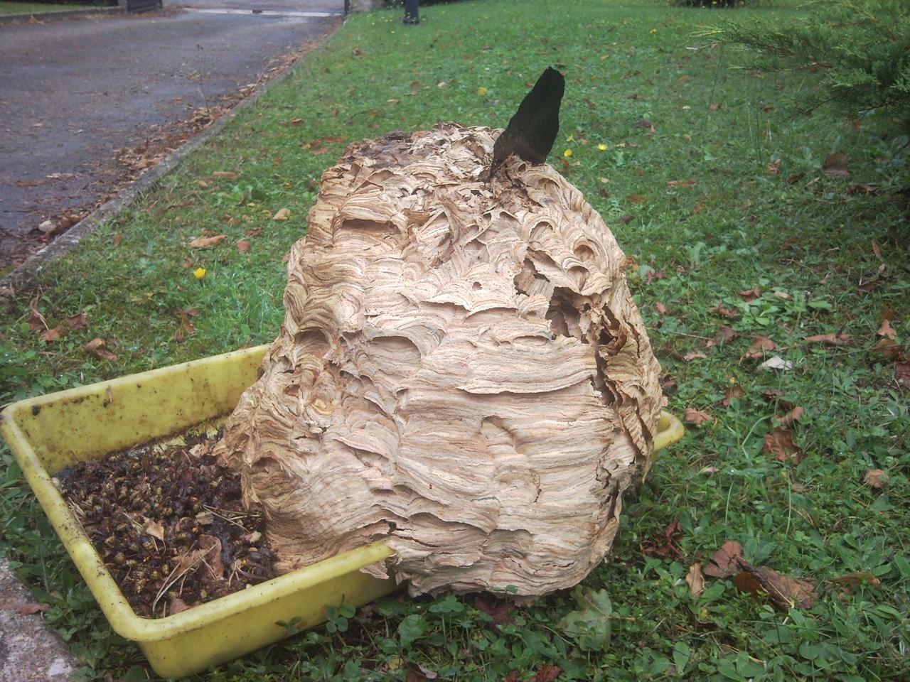 Nid de frelon extrait d'un grenier
