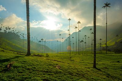 Wax Palms at the Cocora Valley