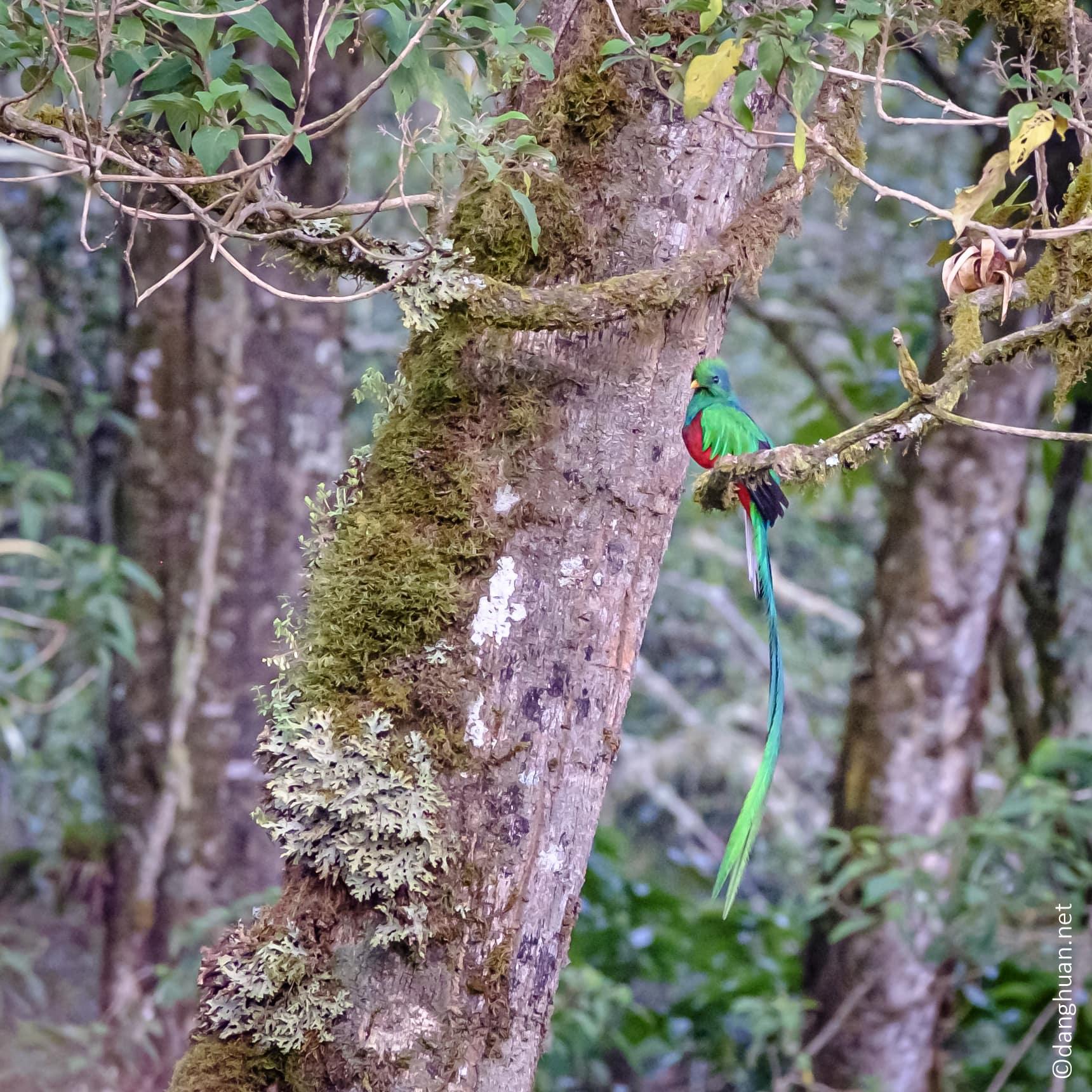 Quetzal resplendissant mâle (Costa Rica)