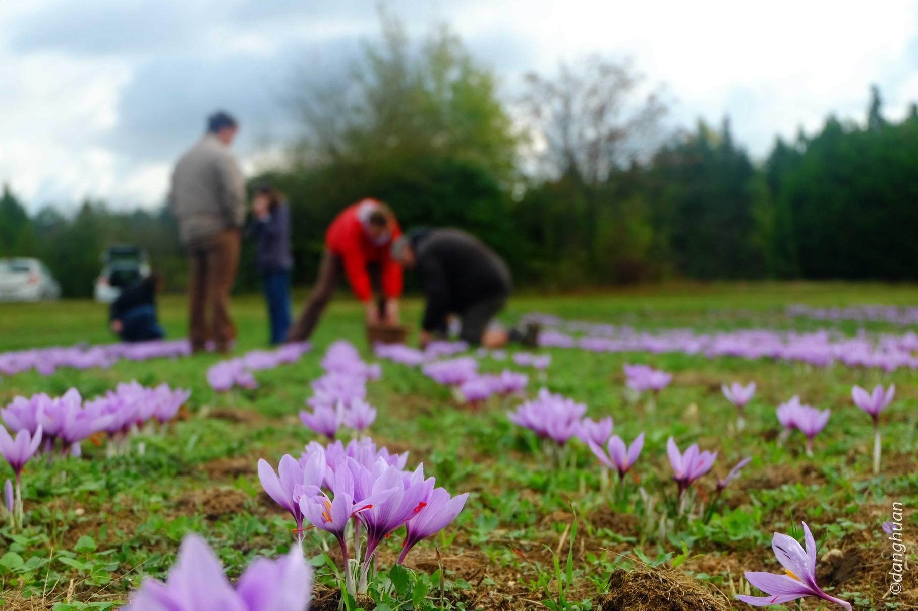 Les bulbes sont plantés en Avril à 15 cm de profondeur et la récolte a lieu en Octobre