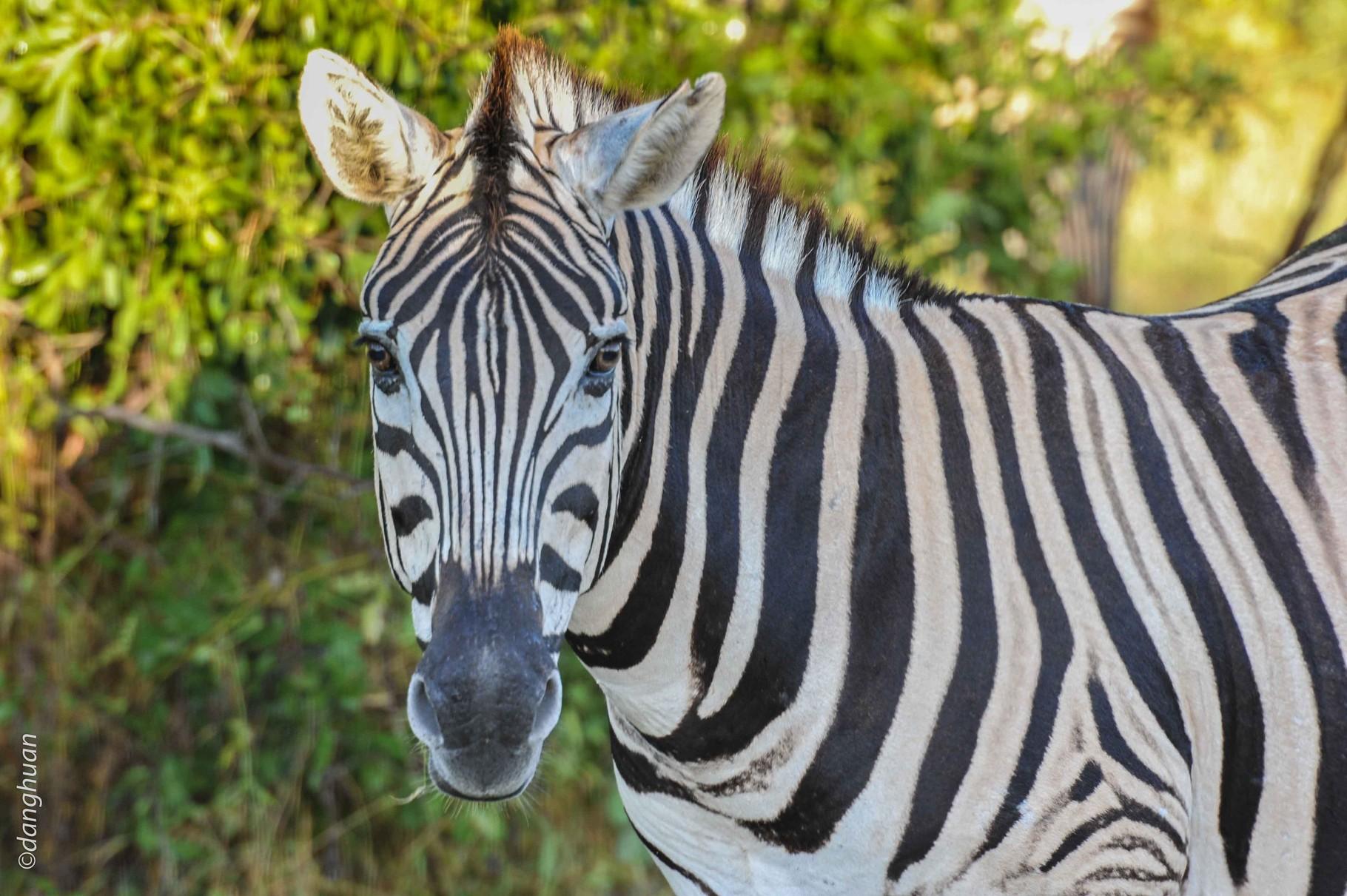 Zèbre (parc national d'Estosha - Namibie)