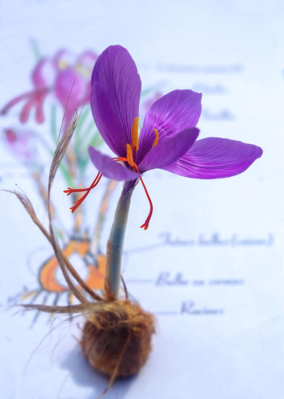 Le bulbe donne une fleur composée de 6 pétales violet mauve avec, au centre, 3 étamines à anthères saupoudrées de pollen jaune et 3 stigmates rouge velouté
