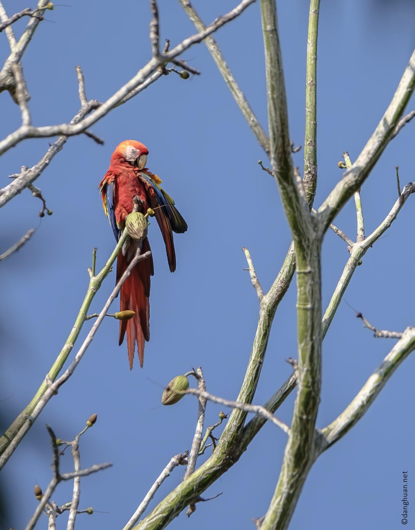 Ara rouge mâle