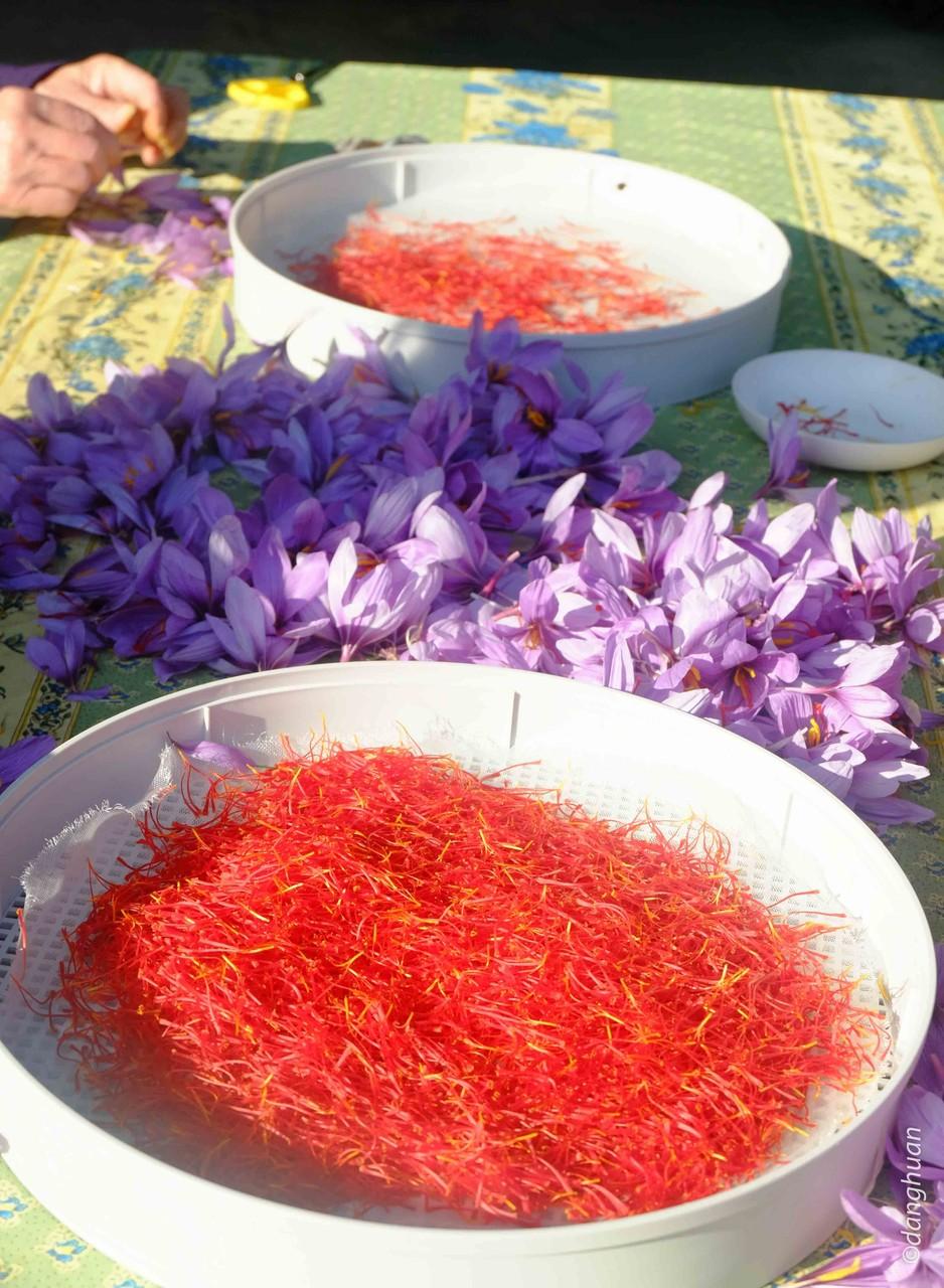 Il faut 150 fleurs pour obtenir un gramme de safran sec