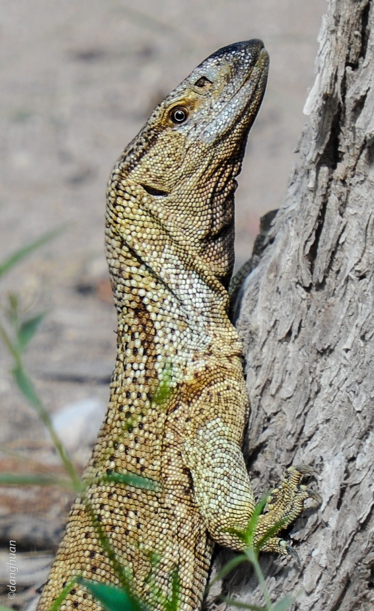 Varan (parc national d'Estosha - Namibie)