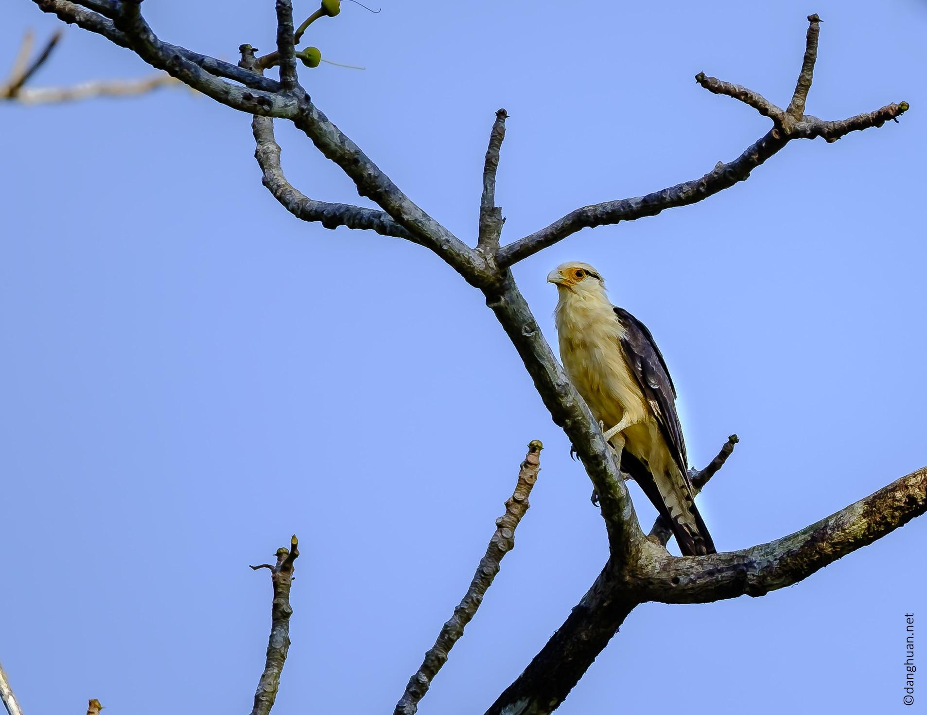 faucon (Peregrine Falcon)