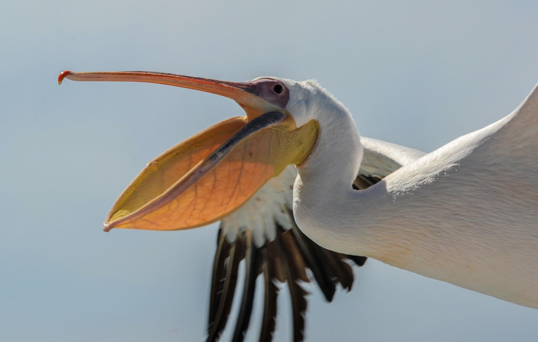 Pélican (Walvis Bay - Namibie)