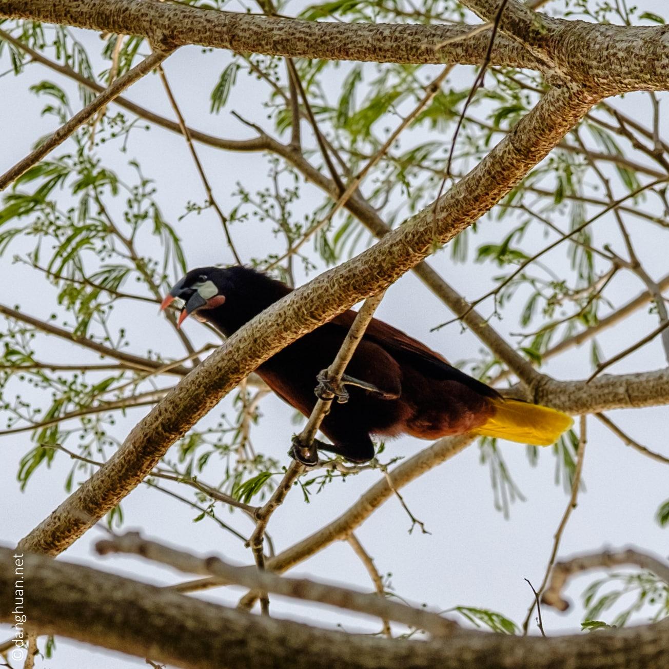 Oropendola - genres d'oiseaux de passereaux du Sud et de l'Amérique centrale dans la famille des Icteridae New World Blackbird