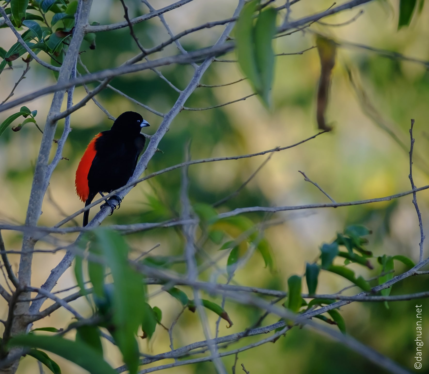 Tangara ou cherrie's tanager, une espèce de passereau appartenant à la famille des Thraupidae