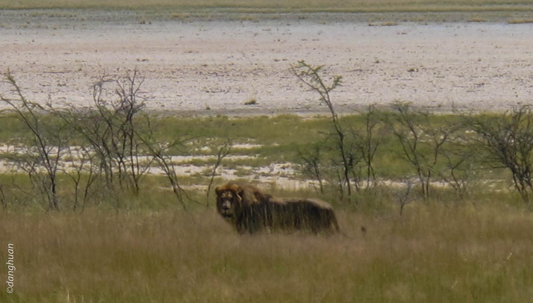 Vieux lion solitaire (parc national d'Estosha - Namibie)