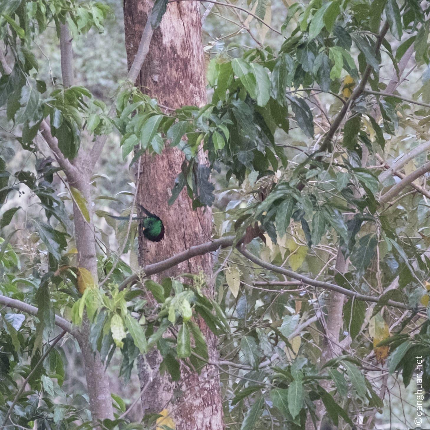 Nid de quetzal resplendissant vers 2000m, le mâle sort en fin d'après midi pour aller se nourir