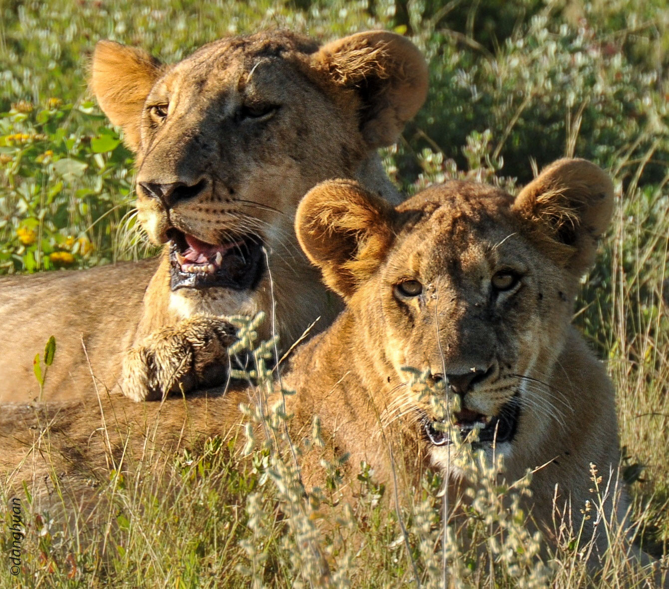 Deux lioncaux après le repas (parc national d'Estosha - Namibie)