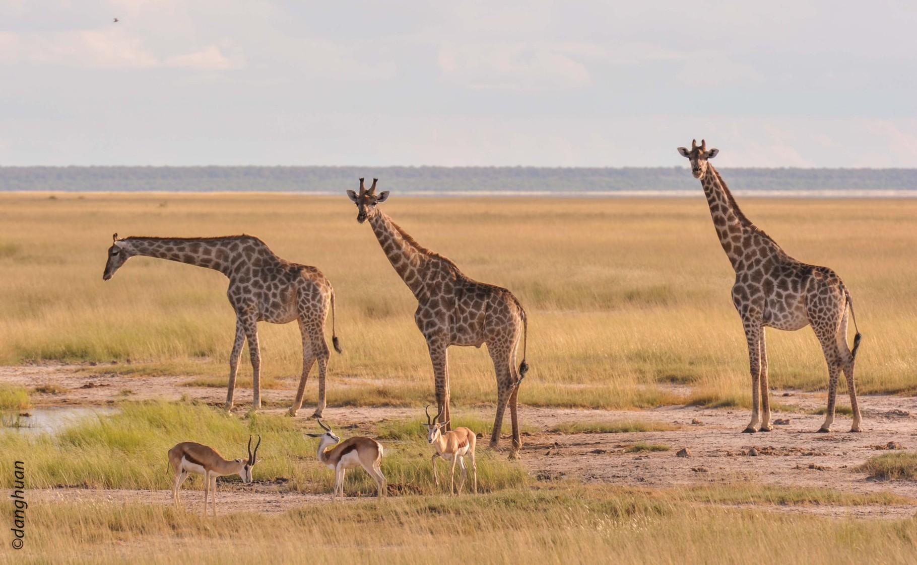 Girafes (parc national d'Estosha - Namibie)
