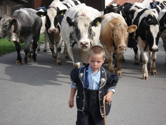 Boy with cows passing La Buchille