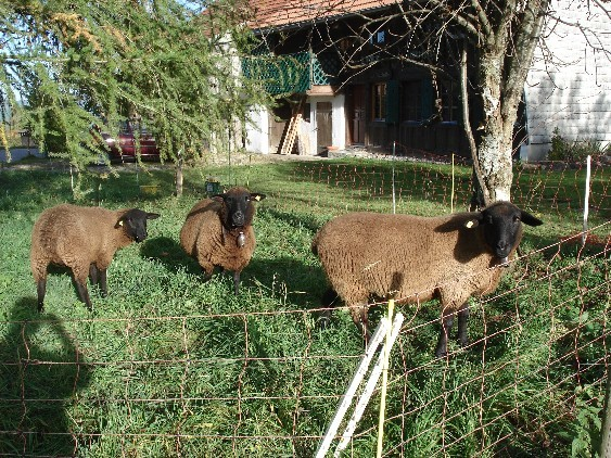 Three sheeps in front of La Buchille