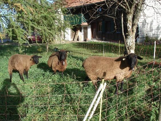 Trois moutons devant La Buchille