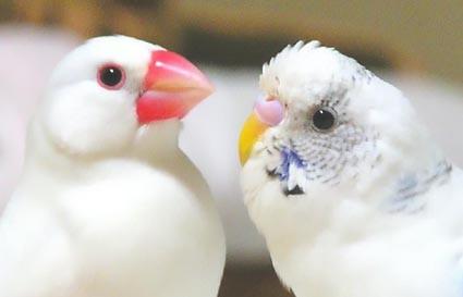 手乗りインコ文鳥