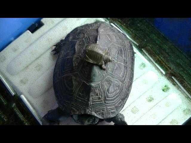 福岡県手乗りインコ小鳥販売店ペットミッキン すっぽんベビーが仲間入りしました。