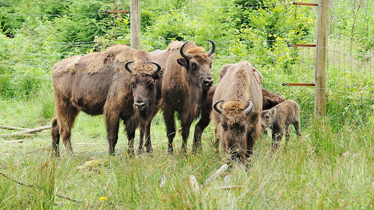 Einzigartiges Artenschutzprojekt: Freilebende Wisente im Rothaargebirge