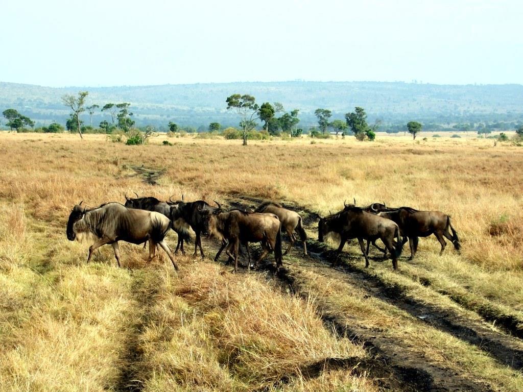 Zehntausende Gnus wandern jedes Jahr von Tansania aus der Serengeti nach Kenia zur Massai Mara