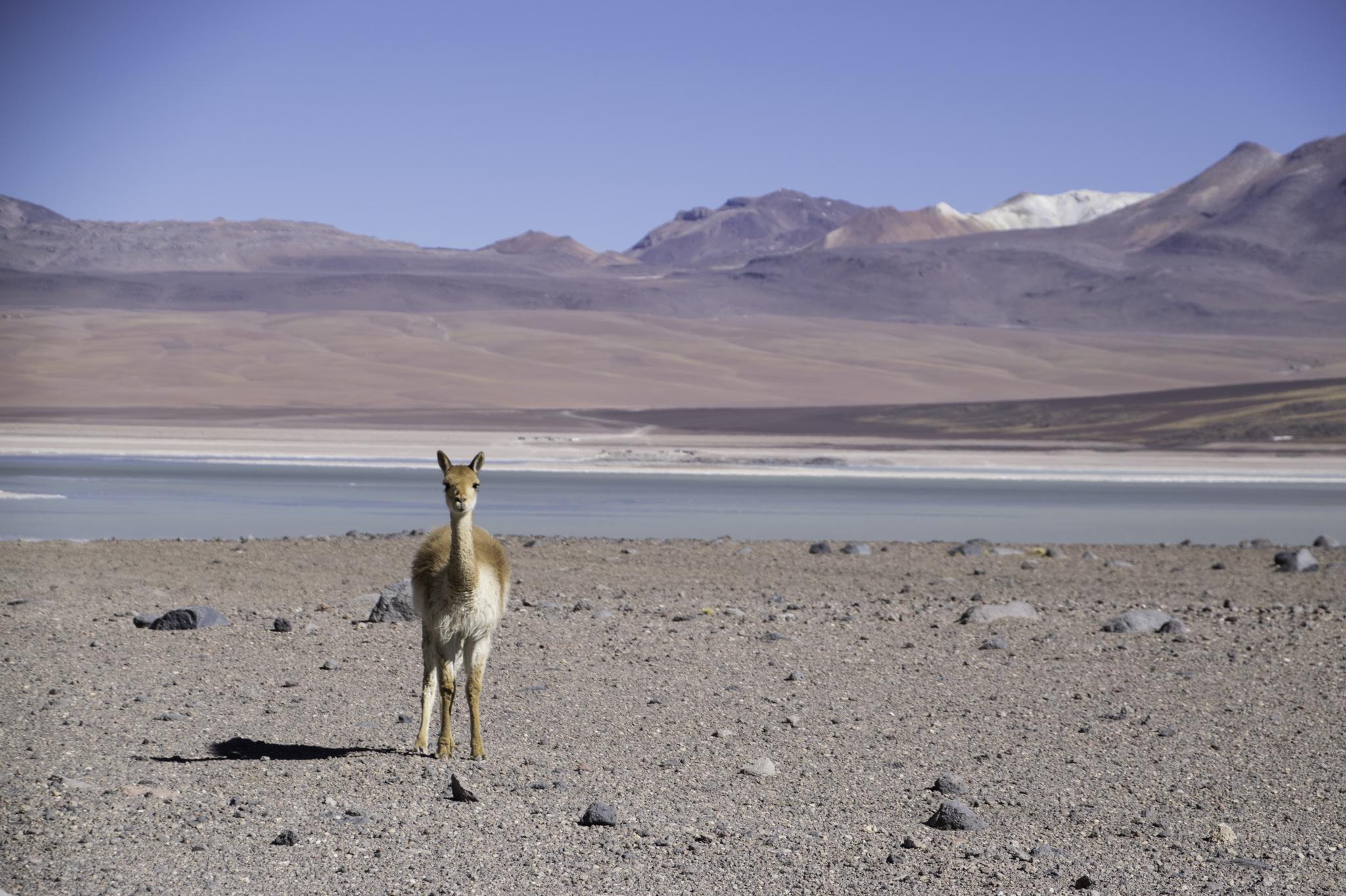 Die süssen Vicuñas findet man auch bei den Lagunen