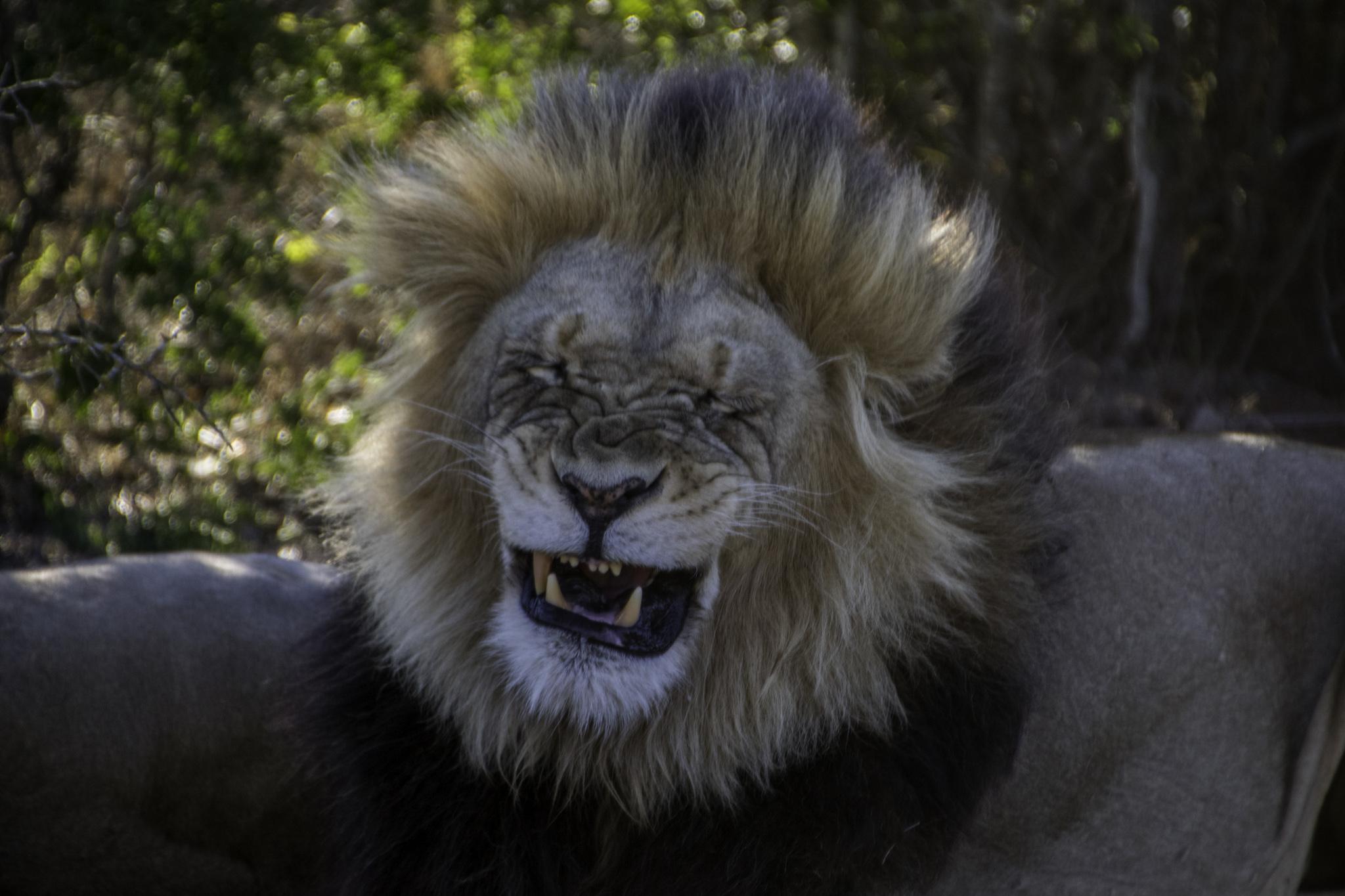 Löwe am niesen, oder so...