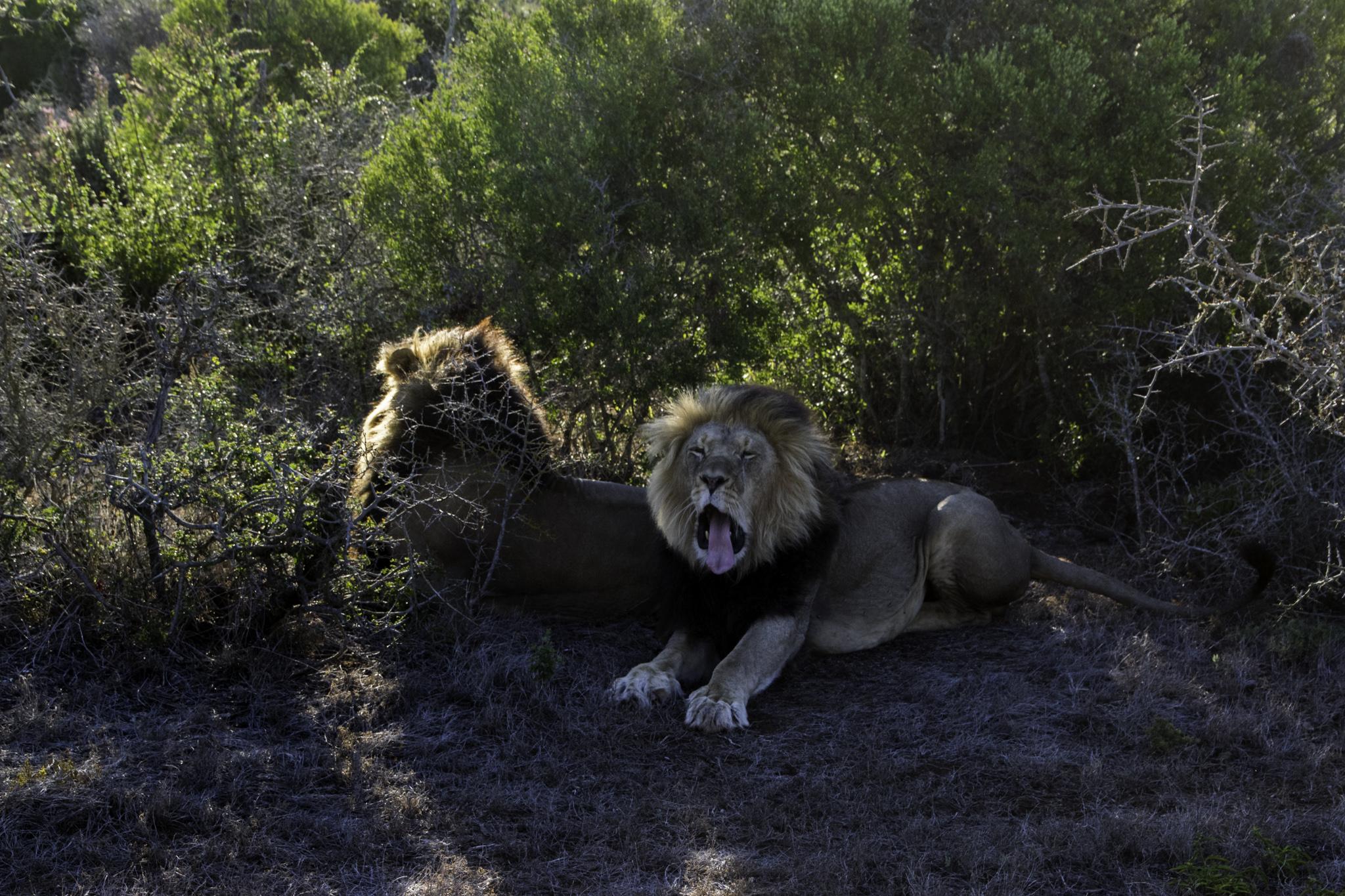 Müde Löwen auf der Sonnenuntergang-Safari am nächsten Tag