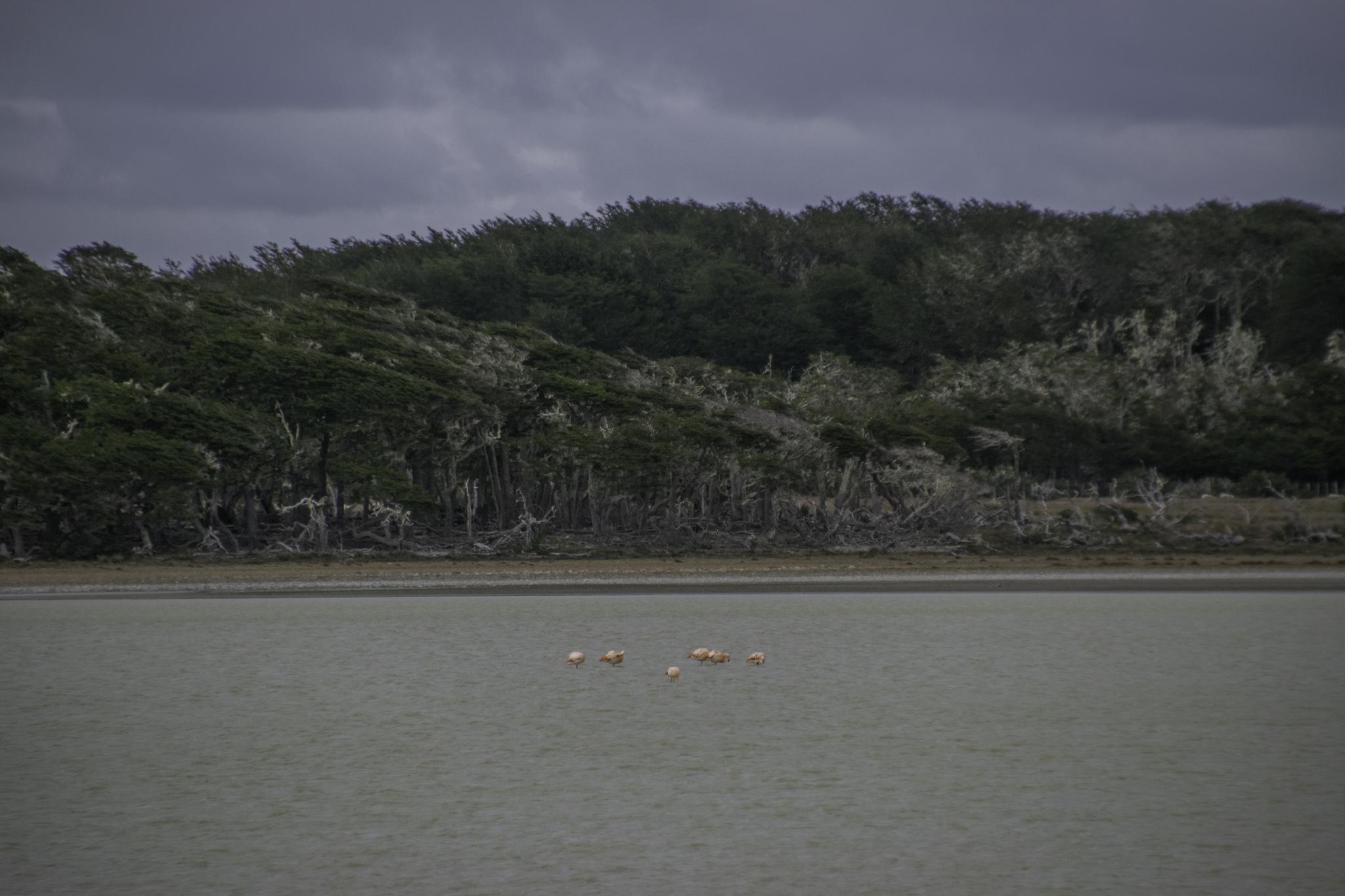 Auch auf Feuerland gibt es Flamingos