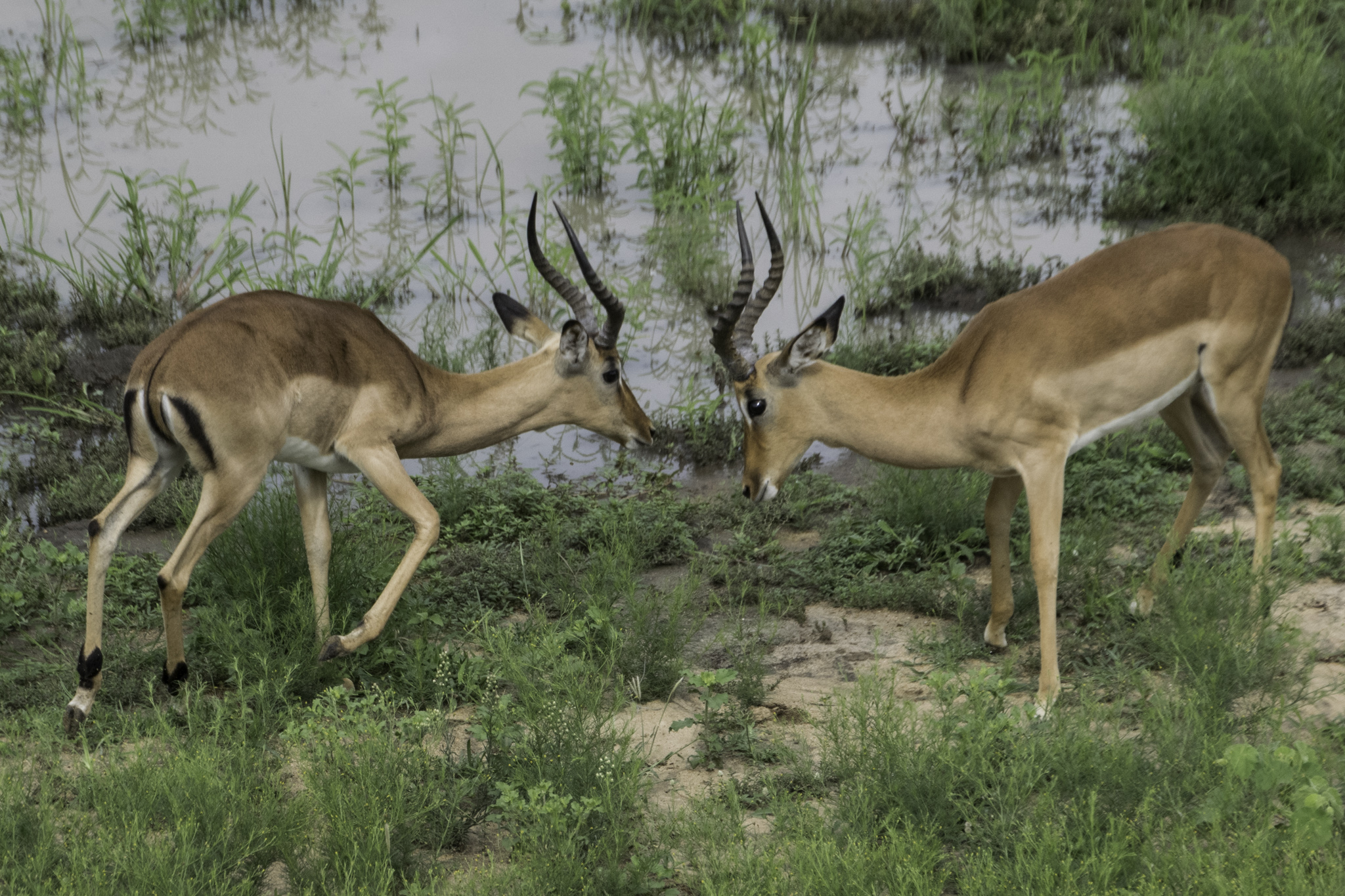 Spielfreudige Impala-Antilopen