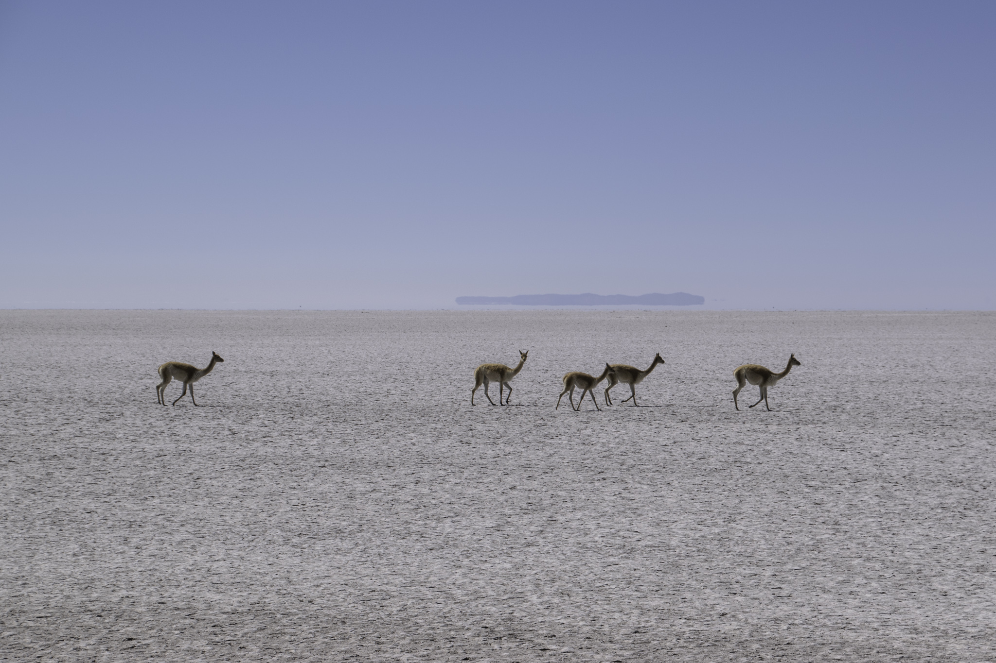 Vicuñas bevölkern sogar die Salzwüste