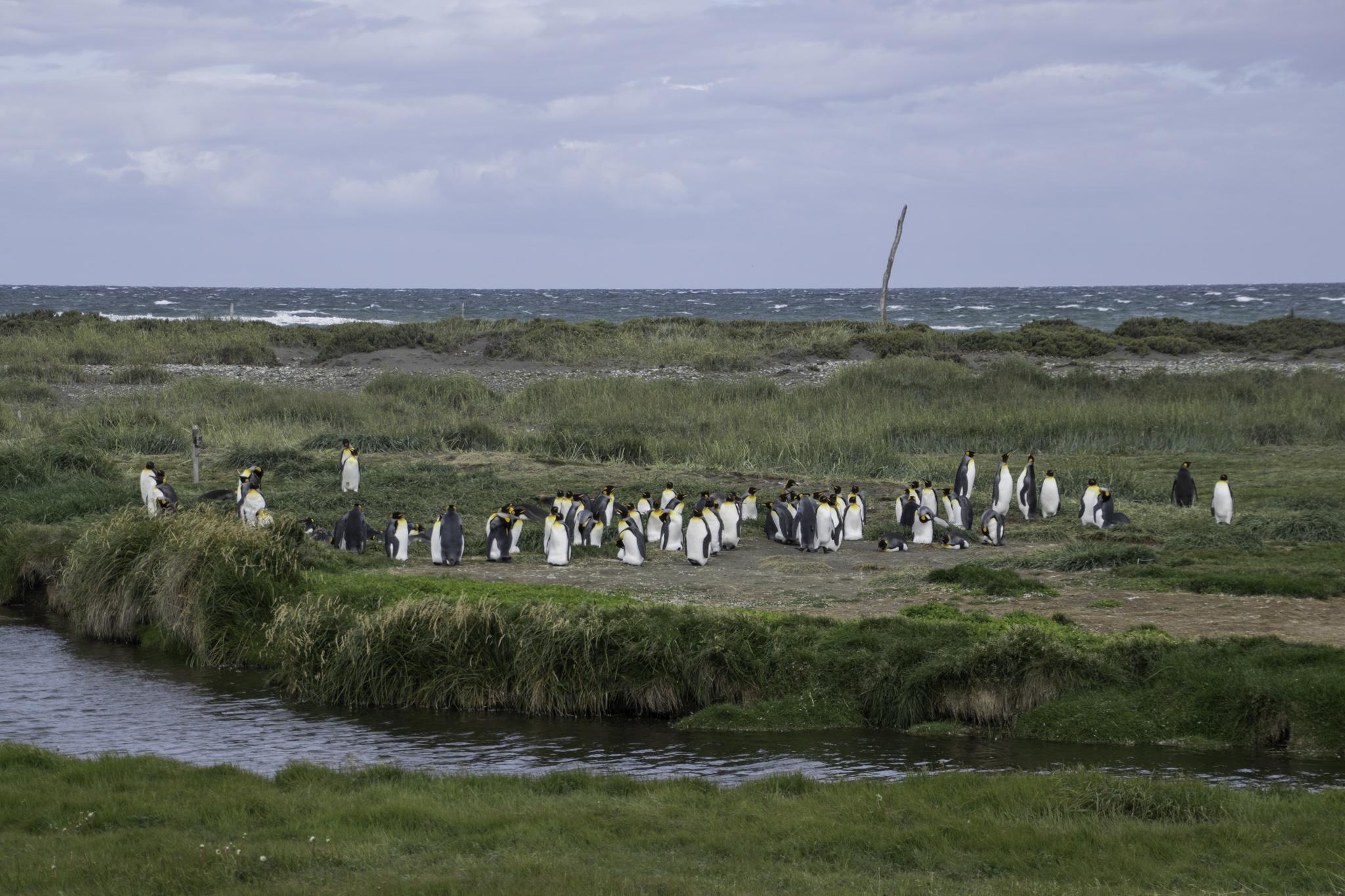 """Die Königspinguine auf """"Tierra del Fuego"""""""