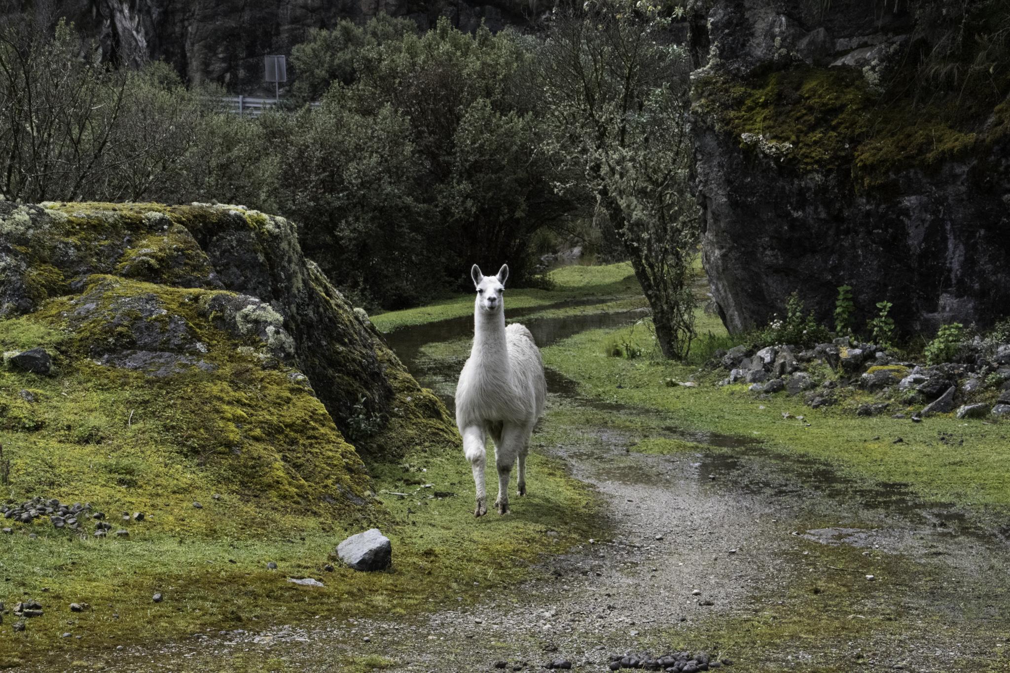 Morgenbesuch eines Lamas beim Zeltplatz