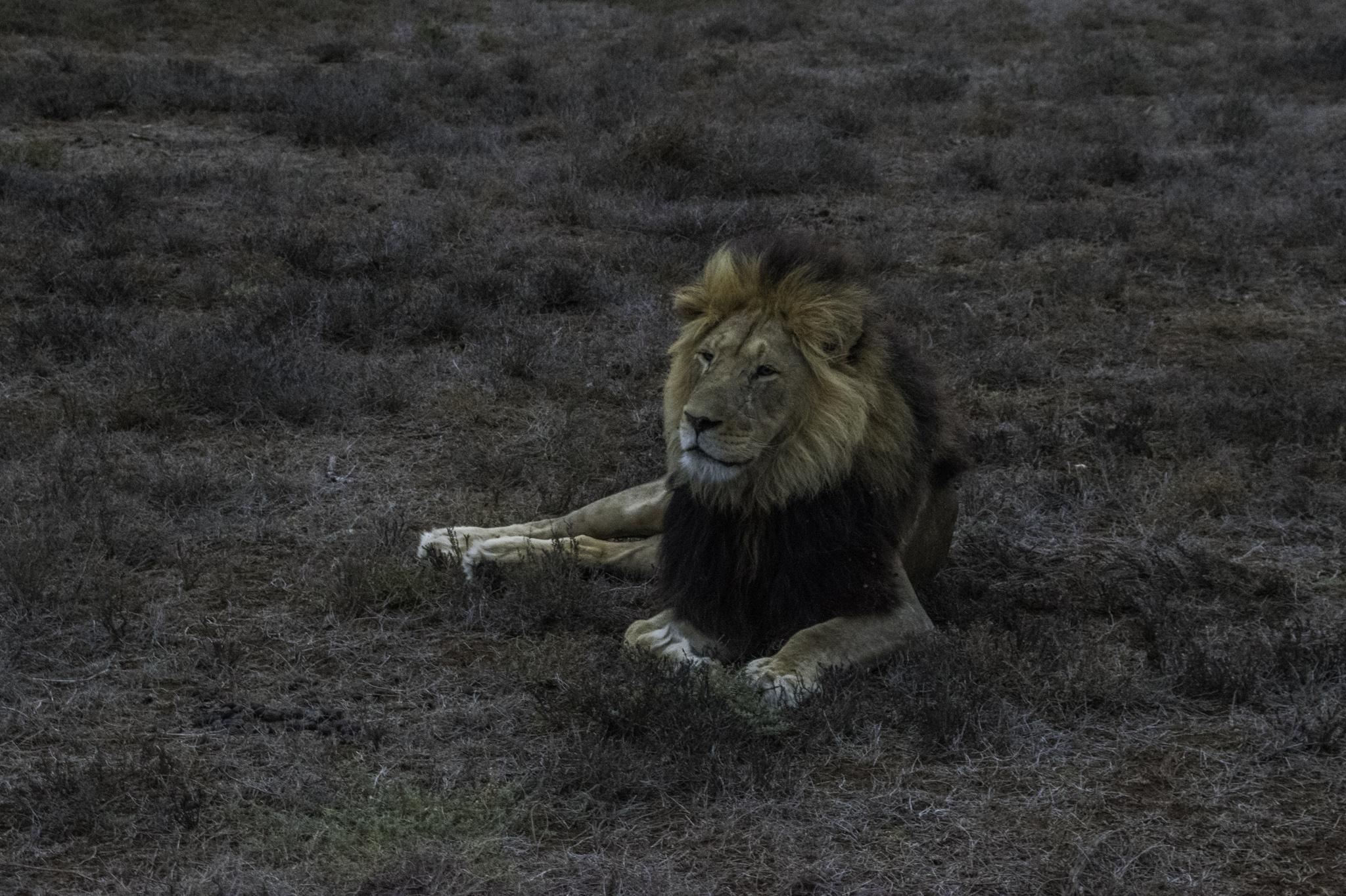 Der König der Tiere im Addo-Elephant-Nationalpark