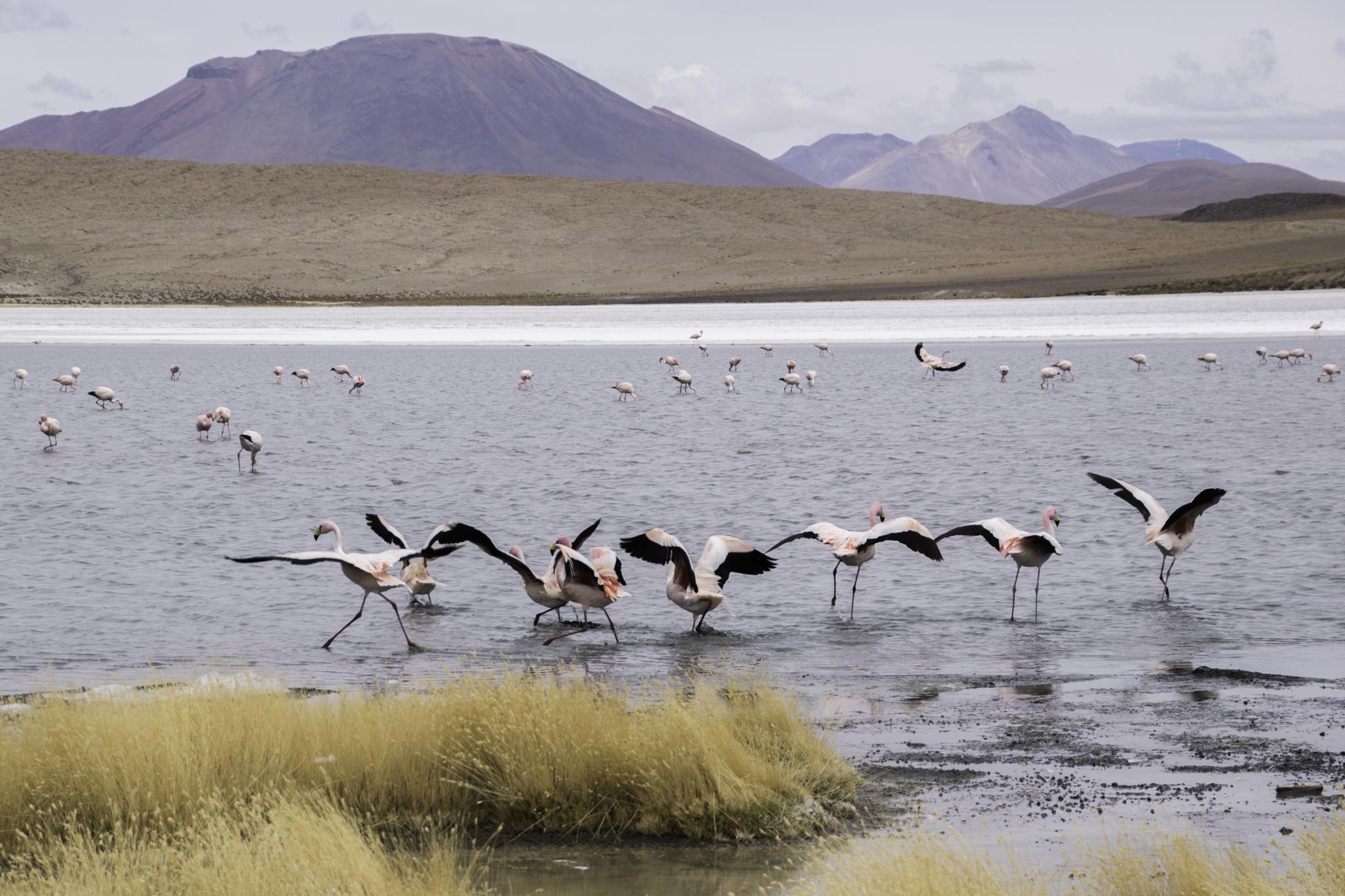 Anden-Flamingos bei den Lagunen