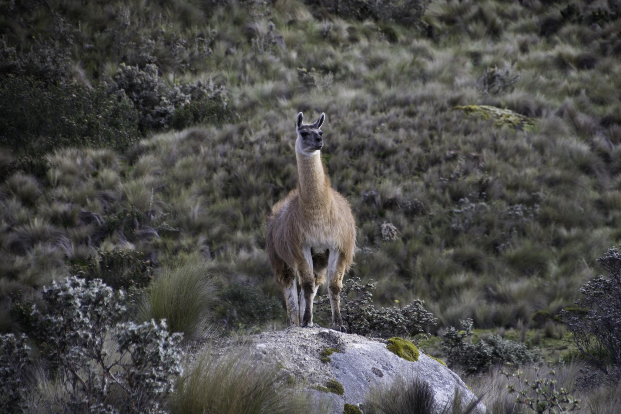 Lama im Cajas-Nationalpark